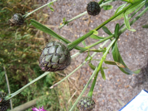greater knapweed