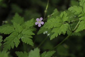 herb robert_MG_0010