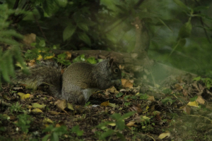 Grey Squirrel_MG_0040