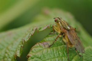 yellow dung fly CLARE