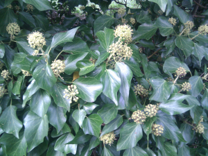Common ivy (hedera helix) flowering
