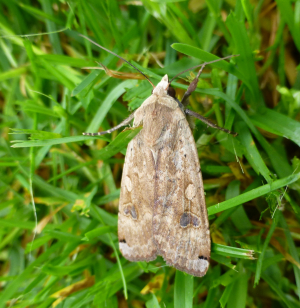 Moth - possibly Heart and Dart