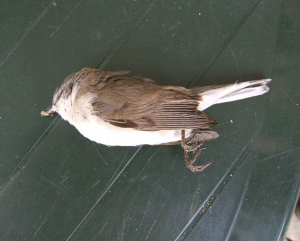 Dead bird - flycatcher??