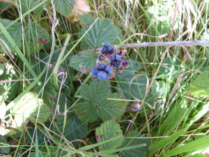 S159 Field Study - Cloudberry
