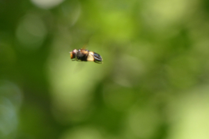 hovering bee