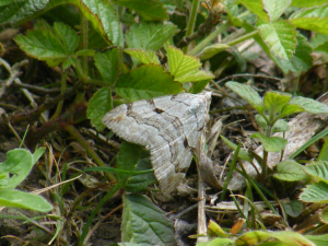 grey moth at sheepleas