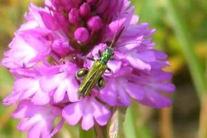 11-06-11 011a green beetle on orchid