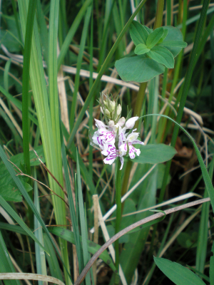 Orchid - Hayley Wood - 15 May 2011
