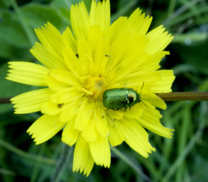 Green beetle on hawkweed