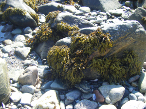 Channelled wrack