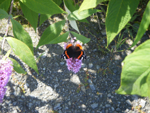 Red admiral (August 2009)