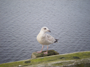 Young herring gull?