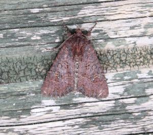 common/lesser common rustic