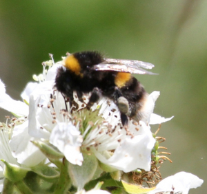Bombus and friend
