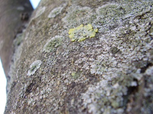 Physica & Xanthoria lichens on Ash tree