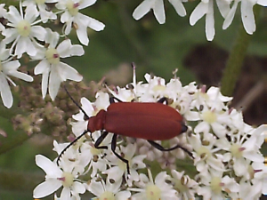 Red Headed Cardinal Beetle