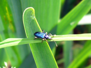 Small blue beetle near a pond