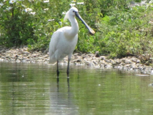 Spoonbill-on-lake