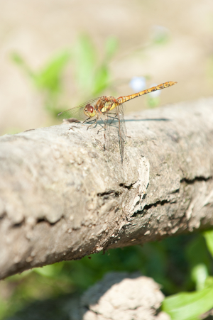 dragonfly sp ?