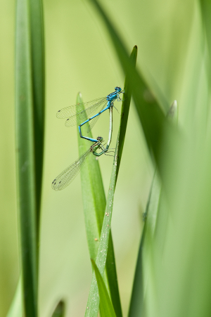 damselfly sp ?