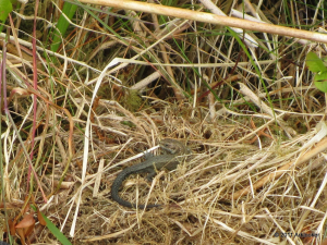 Common Lizards, Black Mountain