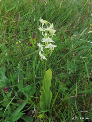 Butterfly Orchid, Slievenacloy