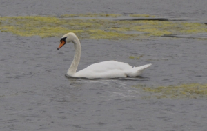 Mute Swan at Fairburn Ings