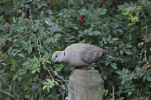 Collared Dove at Fairburn Ings