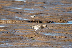 Curlew or Whimbrel?