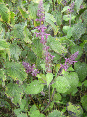 Hedge Woundwort