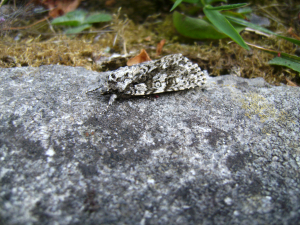 Grey & White Moth with Spots