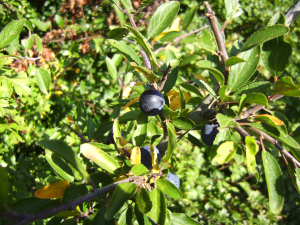 Blackthorn  -  (From Opal Discover What Lives In A Hedge Survey