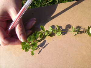 Ground Ivy - (From OPAL'S Discover What Lives In A Hedge Survey.)