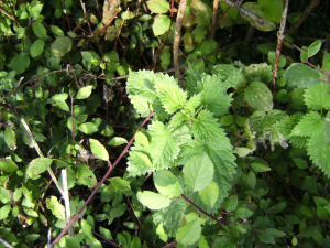 Stinging Nettle - (From OPALS Discover What Lives in a Hedge Survey.)