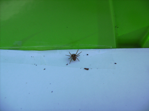 Crab Spider (?) - (From OPAL'S Discover What Lives In A Hedge Survey.)