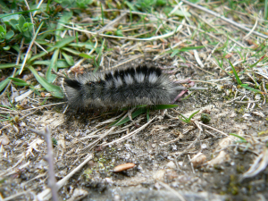 Unidentified moth caterpillar