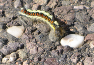 hairy yellow and orange caterpillar with a black horn
