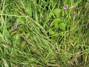 plant with purple flowers