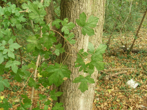 Field Maple (Acer campestre)