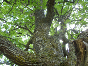 Ancient oak tree, Gearrchoille woods, Ardgay