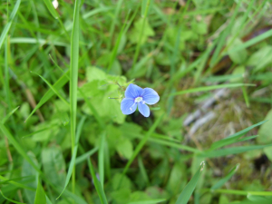 germander speedwell, Gearrchoille Woods, Ardgay