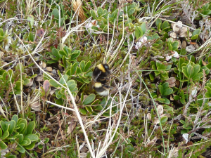 Bumble bee on bearberry