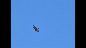 Buzzard still 1