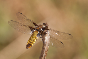 Four Spotted- Chaser