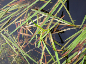 Unbranched Bur-Reed in Flower