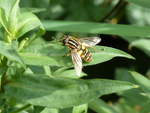 Sun Hoverfly