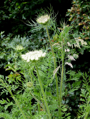 Wild carrot (Queen Anne's Lace ...US)