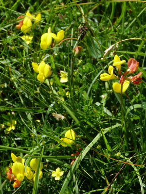 Common bird's foot trefoil?