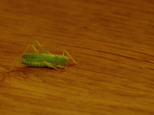 Oak bush cricket?