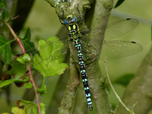 Male Southern Hawker?